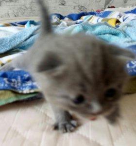 Продам котёнка (мальчик)