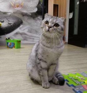 Резерв британских котят