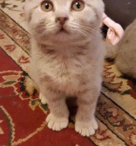 Шотландский вислоухий котёнок ищет себе хозяев.