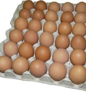Брама яйцо