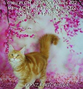 Мейн Кун котята от титулованных производителей