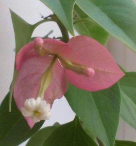 Бугенвиллия розовая