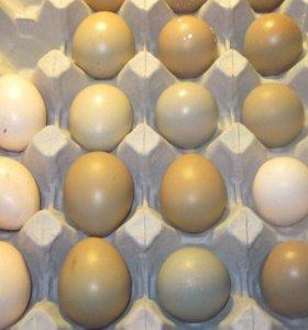 Инкубационное яйцо золотого фазана