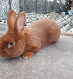 НЗК Новозеландский красный кролик