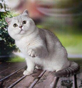 Шотландский котик Джерри