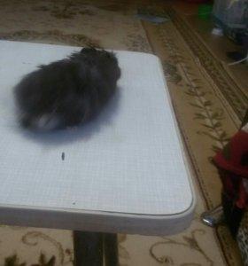 Сирийский хомячок. Мальчик.6 месяцев
