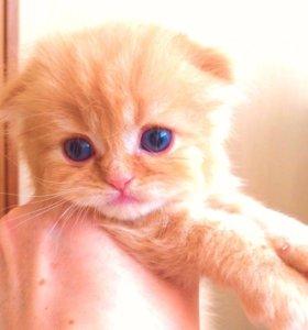 Шотландский кот фолд