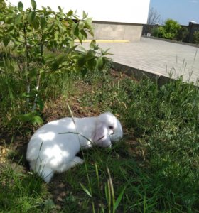 Кролик французский баран белый Голубоглазый