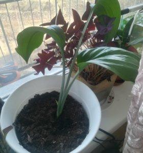 Амазонская лилия (Эухарис)