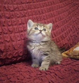 Шотландские вислоухие котята большой выбор