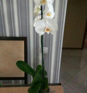 """Продам орхидею сорт """"Silver Light"""""""
