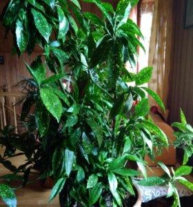 Растение Аукуба
