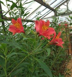 Корни цветов Альстормерия и Калла