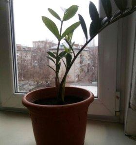 Зомиокулькас(долларовое дерево)