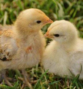 цыплята 2 недельные
