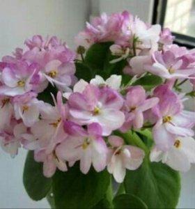Фиалка СК-Яблоневый Сад