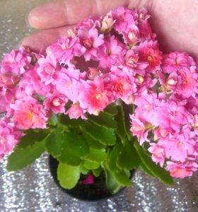 Каланхое цветет