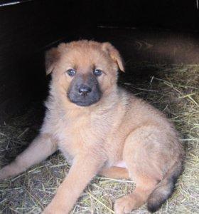 Продаются чистопородные щенки немецкой овчарки.