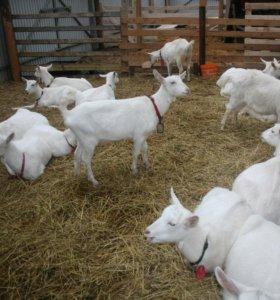 козы зааненские