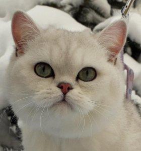 Котенок британец