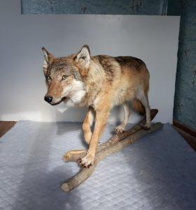 Чучело волчка