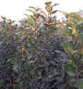 САЖЕНЦЫ плодовых и ягодных растений