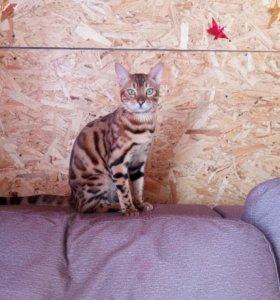 Бенгальский кот. вязка. Калтан