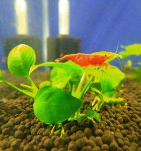 Креветки аквариумные red fire