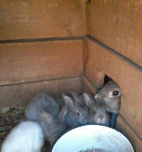кролики смесь с великаном