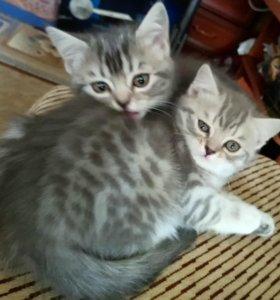 Продам шотландских котят,Скотиш Страйт
