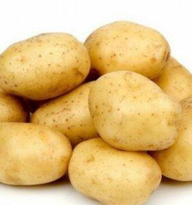 Картофель жёлтый семенной