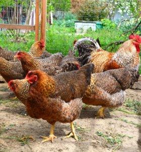 Цыплята Павловские золотые и Билефельдеры