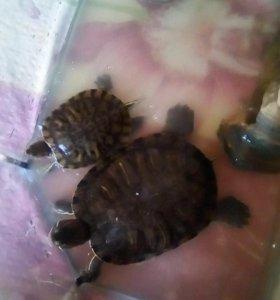 2 красноухих черепахи.
