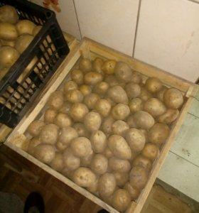 Картофель, Гала семенная и едовая. продам не д