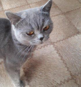Британский котик вязка
