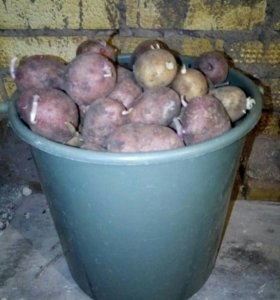 Картофель на семена