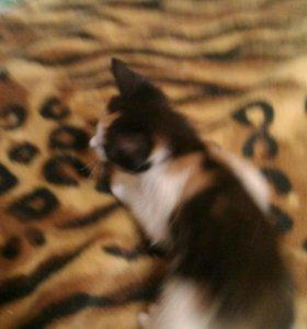 домашние котята, 2 месяца и 3 месяца