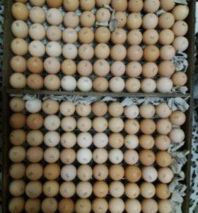 Яйцо бройлерное