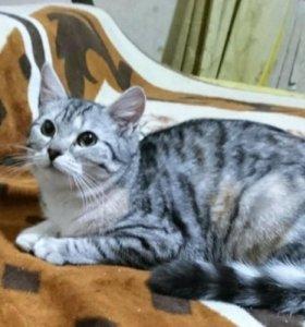 Котенок девочка Вика, трехцветная, 9 месяцев