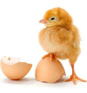 Суточные цыплята от домашних несушек