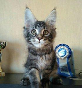 Котята Мейн кун Продажа.
