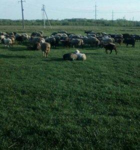 Бараны,овцы.