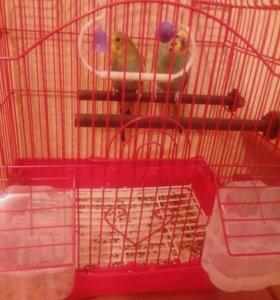 Продам попугаев вместе с клеткой