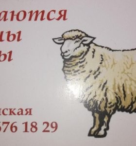 Бараны и овцы