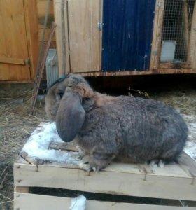 Кролики Французский баран.
