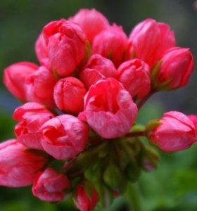Тюльпановидная пеларгония (герань)