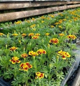 Растения, рассада, петуния бегония
