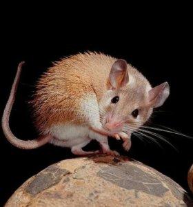 Иглистая мышка