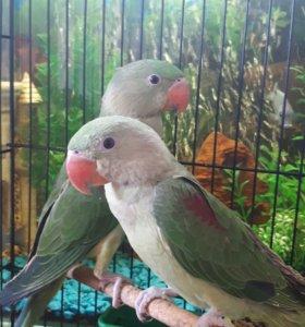 Александрийские попугаи птенцы
