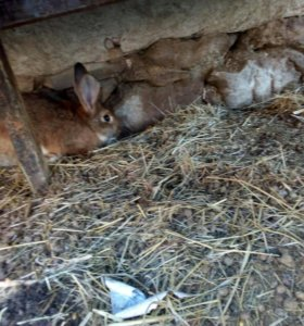 Кролики срочно!!!!! До воскресения!!!!!!!